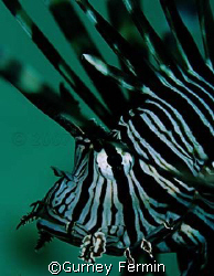 Lion fish sticking around while I shoot and decided to ta... by Gurney Fermin 